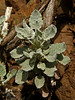 <em>Eriogonum latifolium</em>, Coast Buckwheat, native.  <em>Polygonaceae</em> (Buckwheat family). Kirby Cove, Golden Gate National Recreation Area, Marin Co., CA 2012/04/07 jm2p1100