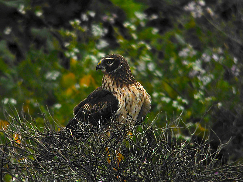 Northern Harrier, <em>Circus cyaneus</em> Pierce Point Ranch, Point Reyes National Seashore, Marin Co., CA