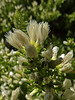 <em>Baccharus pilularis var. pilularis</em>, Prostrate Coyote Brush, native.  <em>Asteraceae</em> (= <em>Compositae</em>, Sunflower family).  Female plant. Abbotts Lagoon, Point Reyes National Seashore, Marin Co., CA,  2011/08/29, jm2p254