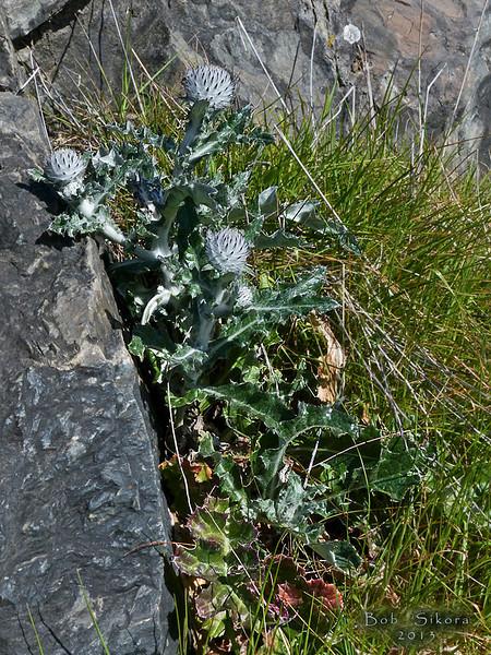<em>Cirsium brevistylum</em>, Indian Thistle, native.  <em>Asteraceae</em> (= <em>Compositae</em>, Sunflower family). Rocky Point, Mt. Tamalpais State Park, Marin Co., CA, 2013/02/25,  jm2p285