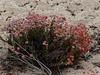 <em>Eriogonum parvifolium,</em> Dune Buckwheat, native.  <em>Polygonaceae</em> (Buckwheat family). Monastery Beach, Monterey Co., CA, 2013/08/02,  jm2p1104