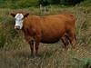 Cow, <em>Bos primigenius</em> Bull Point Trail, Point Reyes National Seashore, Marin Co., CA, 2013/07/26 &#9664 Themidaceae ----- Tofieldiaceae &#9658