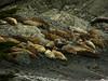 Harbor Seals, <em>Phoca vitulina</em> Point Bonita, Golden Gate National Recreation Area, Marin Co., CA, 2012/07/14 &#9664 Myrsinaceae ----- Myrtaceae &#9658