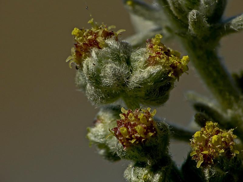 <em>Artemisia pycnocephala</em>, Beach Sagebrush, native.  <em>Asteraceae</em> (= <em>Compositae</em>, Sunflower family). Keyhoe Beach, Point Reyes National Seashore, Marin Co., CA 12/22/2011 jm2p252
