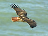 Red-tailed Hawk, <em>Buteo jamaicensis</em> Golden Gate National Recreation Area, Marin Co., CA  2013/01/28
