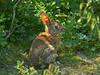 Brush Rabbit, <em>Sylvilagus bachmani</em> Tomales Bay Trail, Point Reyes National Seashore, Marin Co., CA, 2013/05/03