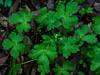 <em>Sanicula crassicaulis</em>, Woodland Sanicle, Snakeroot, Gambelweed,  native. <em> Apiaceae </em> ( = <em>Umbelliferae</em>, Carrot Family) Chabot Regional Park, Alameda Co., CA 3/14/10