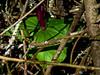 <em>Trillium chloropetalum</em>, Giant Trillium, native. <em> Liliaceae</em> (Lilly family) Chabot Regional Park, Alameda Co., CA 3/14/10