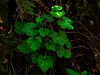 <em>Tellima grandiflora</em>, Fringe Cups, native.  <em>Saxifragaceae</em> (Saxifrage family) Chabot Regional Park, Alameda Co., CA 3/15/10