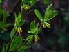 <em>Dirca occidentalis</em>, Western Leatherwood, native.  <em>Thymelaeaceae</em>  (Daphne family) Chabot Regional Park, Alameda Co., CA 3/14/10