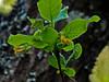 <em>Lonicera involucrata</em> var.<em> ledebourii</em>, Twinberry Honeysuckle, native.  <em>Caprifoliaceae</em> (Honeysuckle family). Chabot Regional Park, Alameda Co., CA 3/14/10