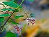 <em>Ribes sanguineum glutinosum</em>, Pink Flowering Currant, native. <em>Grossulariaceae</em> (Gooseberry family). Chabot Regional Park, Alameda Co., CA 3/14/10