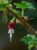<em>Ribes menziesii</em>, Canyon Gooseberry, native. <em>Grossulariaceae</em> (Gooseberry family). Chabot Regional Park, Alameda Co., CA 3/15/10 Mature flower.