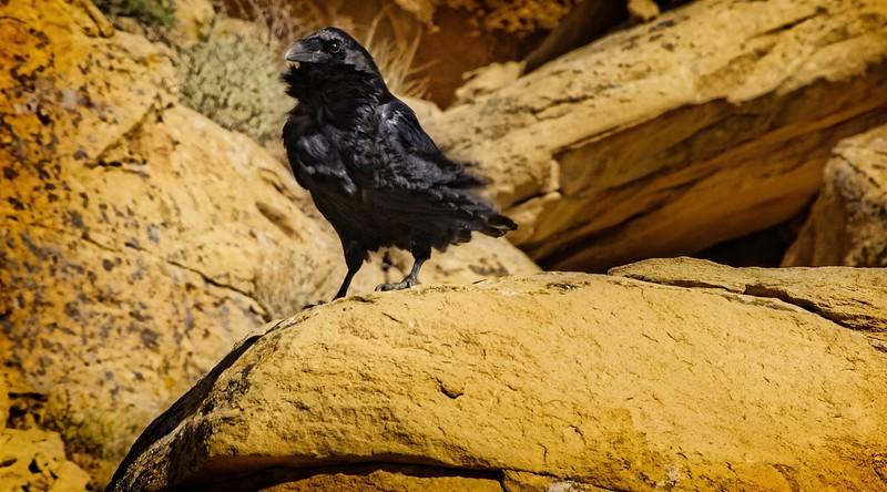 Chaco Canyon Raven<br /> Photo © Cindy Clark