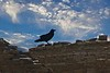 A raven inspects the ruins from a wall on Pueblo Alto, Chaco.<br /> Photo © Carl Clark