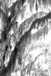 Black and White of draping moss at Savannah Wildlife Refuge