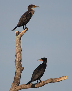 Cormorant at Savannah Wildlife Refuge