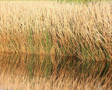 Marsh grass reflected in tidal pool of Savannah Wildlife Refuge