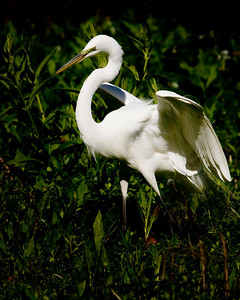 Egrets are plentiful, active and within fairly close range in the Audobon Swamp at Magnolia.