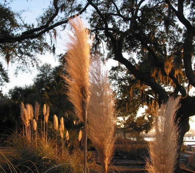 Sunlit Pampas and Spainish Moss