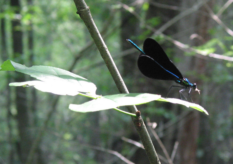 Hell Hole Swamp Dragonfly