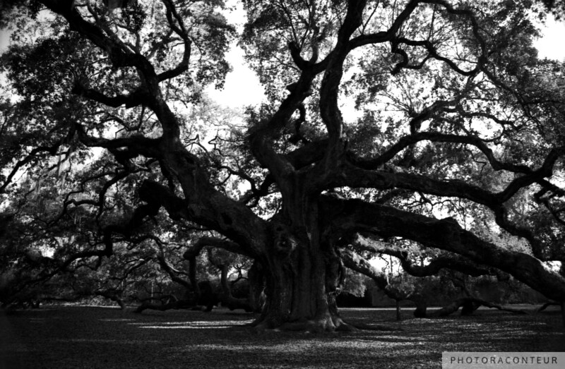 """Angel Oak"" ~ B&W composition of Angle Oak near Charleston, South Carolina.  The Angel Oak is a Live Oak tree that is estimated to be over 1400 years old.  The tree is sixty-five feet high and has a circumference of 25.5 feet. Its area of shade is 17,000 square feet, and the largest limb has a circumference of 11 feet.    HUGE PRINTS are also available for this photo! Get prints that are taller than you are, or wider than you can stretch your arms! Click for more info:"