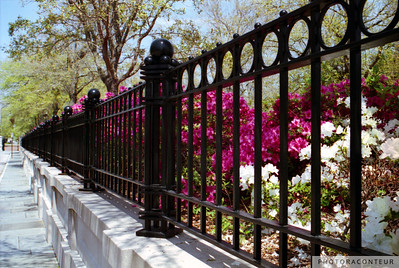 """Waterfront Park Azaleas"" ~ Colorful scene of iron fence and the blooming azaleas at Waterfront Park in Charleston, SC."