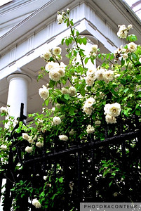 """Noisette Roses, First Baptist Church"" ~ First Baptist Church (circa 1822) fronted by Noisette roses along its wrought iron fence."