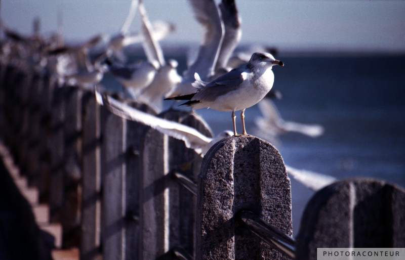 """Battery Gulls, Charleston, SC"" ~ Photo of ring-billed sea gulls in action along the Low Battery of Charleston Harbor, SC."