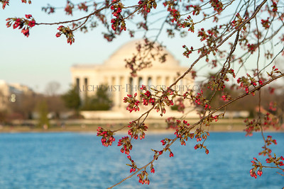 Cherry, Blossom, Blossoms, Washington, DC, Festival, cherry blossom, flower, flowers, jefferson, mlk