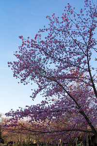 Cherry, Blossom, Blossoms, Washington, DC, Festival, cherry blossom, flower, flowers, jefferson, mlk