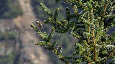 Chestnut-backed Chickadee (Alaska)
