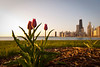 17 April 2010- The first tulips of the spring season peak up at sunrise along the Lake Michigan lakefront.