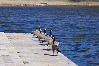 Canadian Geese - Jackson Park
