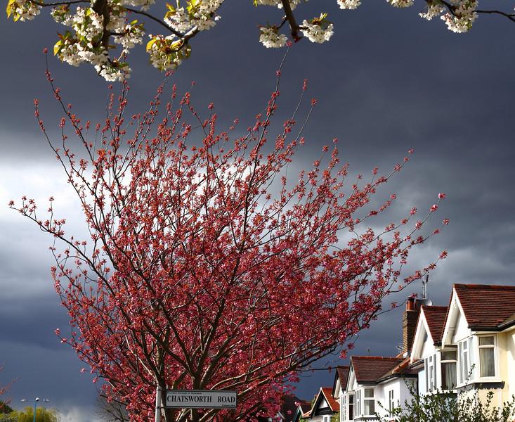 Chatsworth Cherry