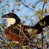 Coppery-tailed Coucal