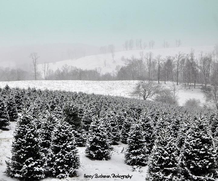 Christmas Trees  2010