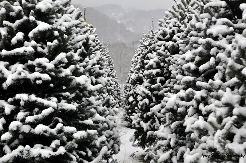 Rows and rows of Christmas trees-