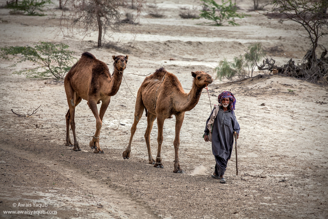 Camels in Balochistan