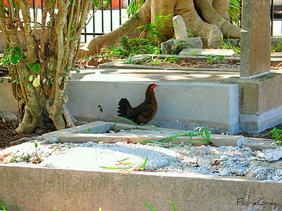 Chickens roam freely on Key West  Run, chicken, run!  The bigfoot tree is chasing you!