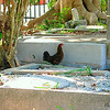 Chickens roam freely on Key West <br /> Run, chicken, run!  The bigfoot tree is chasing you!