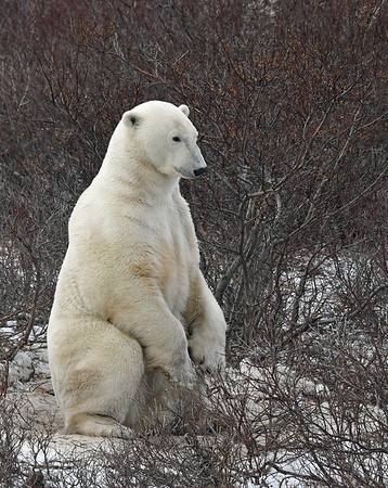 Polar Bear 14, Churchill, Manitoba