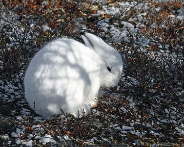 Arctic Hare 2, Churchill, Manitoba