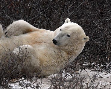 Polar Bear 10, Churchill, Manitoba
