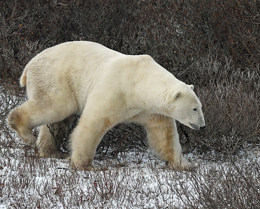Polar Bear 3, Churchill, Manitoba