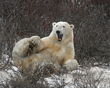 Polar Bear 11, Churchill, Manitoba