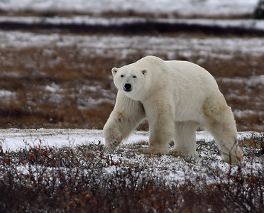 Polar Bear, Large Male 1, Churchill, Manitoba