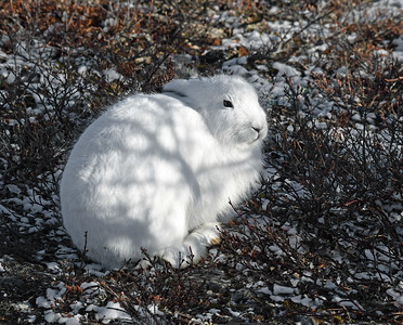 Arctic Hare, Churchill, Manitoba