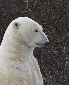 Polar Bear Portrait 2, Churchill, Manitoba