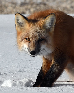 Red Fox Portrait 1, Churchill, Manitoba